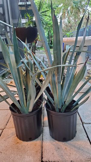 Blue Agave plants. $15 each for Sale in Deerfield Beach, FL