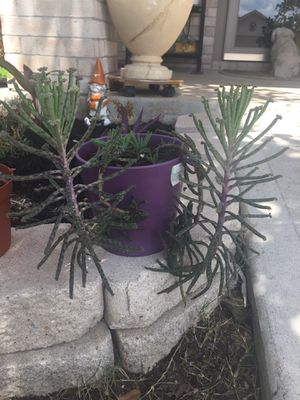 Kalanchoe tubiflora for $17. Small pot. Buda, Tx for Sale in Creedmoor, TX