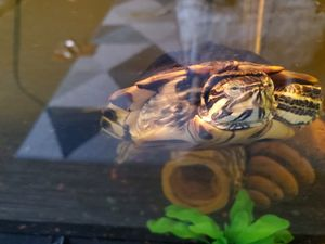 Yellow belly turtle for free! (Includes tank) for Sale in Atlanta, GA