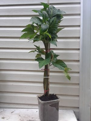 Arrow head plants for Sale in Decatur, GA