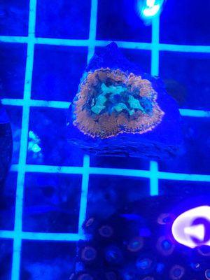 Awsome Rhodactus Mushroom Coral for sale for Sale in Rancho Cucamonga, CA