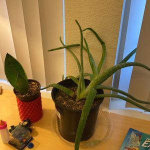 Aloe Plant for Sale in Colorado Springs, CO