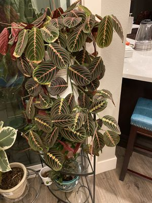 Indoor plant for Sale in Brush Prairie, WA