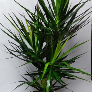 Real Dracaena Magenta 5feet Plant $55 Price is FIRM Located In The City Of Anaheim Cash Only for Sale in Anaheim, CA