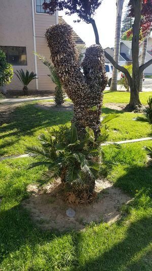 Sago Palms for Sale in Fresno, CA