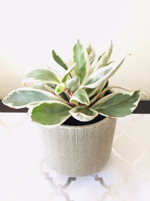 Variegated Peperomia for Sale in San Francisco, CA