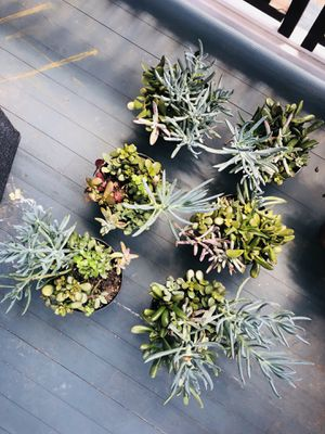 Succulents.. 6. 1Quart containers for one price for Sale in Cambridge, MA