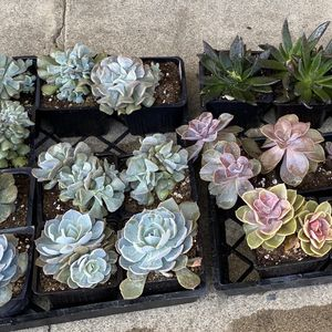 Echeveria Varieties 4 Inch Pot $3 for Sale in Huntington Beach, CA