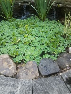 Beautiful Pond Plants for Sale in Butler, PA