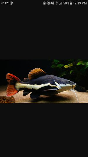 Looking for large aquarium fish for Sale in Pittsburgh, PA