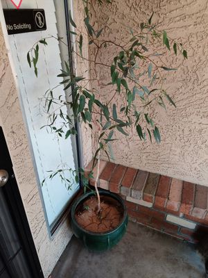 Tree for Sale in Peoria, AZ