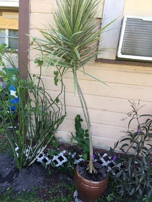 7 Foot Tall Plant In Heavy Planter for Sale in Fort Pierce, FL