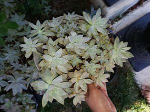 Succulents for Sale in Aliso Viejo, CA