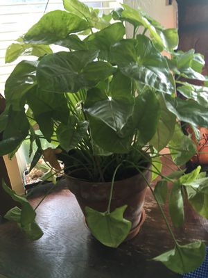 House plant for Sale in Norco, CA