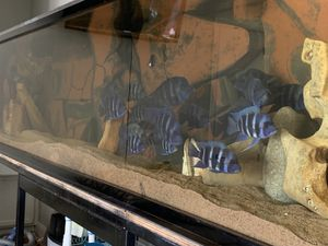 Frontosa Mpimbwe Breeding Group 3m12f for Sale in Fort Worth, TX