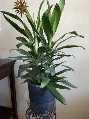 Hawaiian Ti plant for Sale in Long Beach, CA