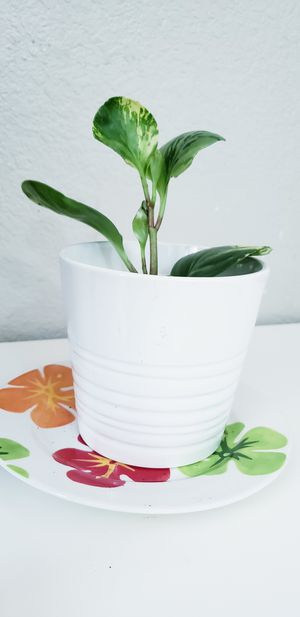 Live baby variegated peperomia for Sale in Chandler, AZ