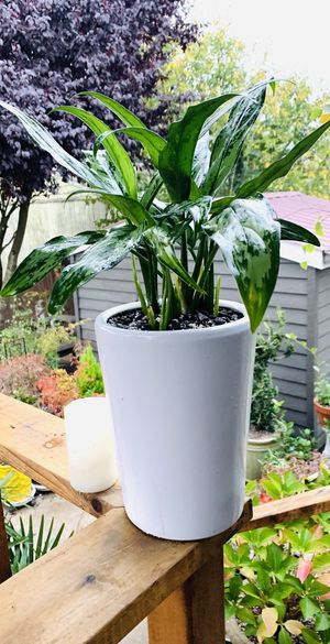 Live indoor Aglaonema Cutlass (Chinese Evergreen) plant in a ceramic planter pot—firm price for Sale in Seattle, WA