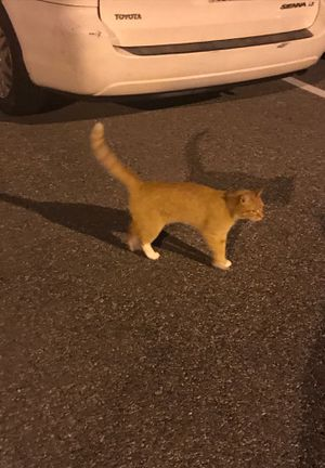 Lost cat mt airy for Sale in Mount Airy, MD