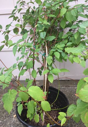 Red twig dogwood for Sale in Everett, WA