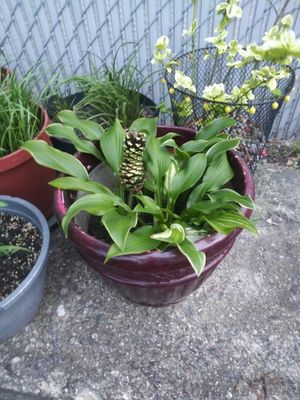 25% OFF Variety Hosta Planter for Sale in Madison Heights, MI