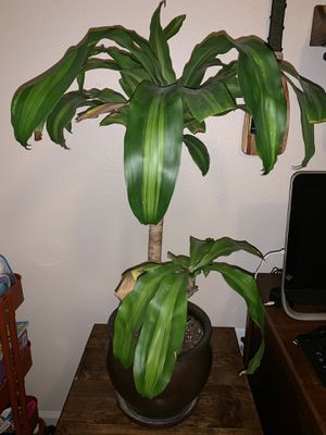 Live Indoor Plant for Sale in Fort Belvoir, VA