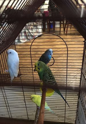 4 Playful Parakeets for Sale in Silver Spring, MD