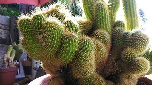 Large crested Trichocereus huascha for Sale in Fullerton, CA