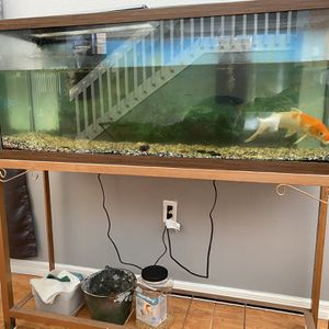 "55 Gallon aquarium w/ 1 Gold & silver 12"" Adult Koi for Sale in Kissimmee, FL"