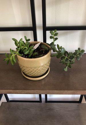 Jade Plant and Springtime Passula for Sale in Alexandria, VA