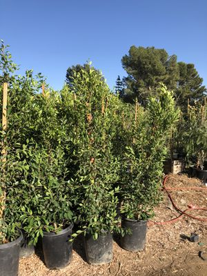 Ficus for Sale in Los Angeles, CA