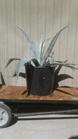 Agave Vera Magey Grandes Plantas Azul (Blue) for Sale in Phoenix, AZ