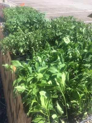 Garden vegetable Plants Fontaine Blvd., Widefield park for Sale in Colorado Springs, CO