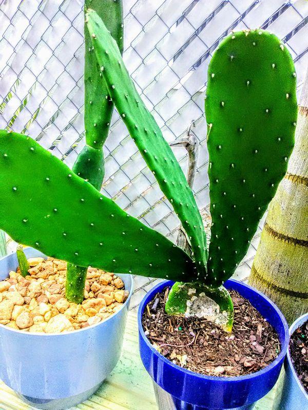 Pear Cactus/ Tuna/ Nopal