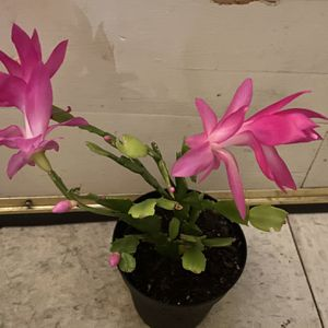 Real Blooming Pink Christmas Catcus for Sale in Arlington, VA