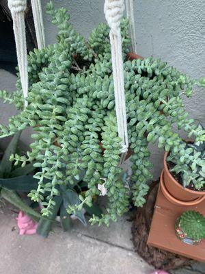 Succulent grande con colgadera for Sale in Bell, CA