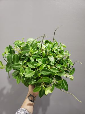Peperomia teardrop for Sale in Winfield, NJ