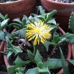 """Faucaria Felina """"Tiger Jaws"""" Succulents for Sale in Los Angeles, CA"""