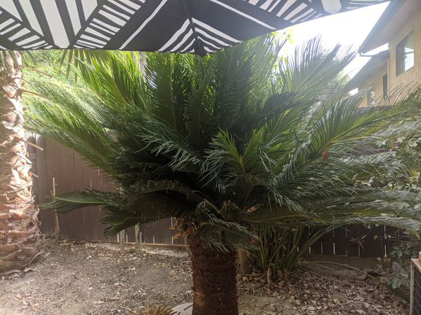 Sago palm - free if you dig it out