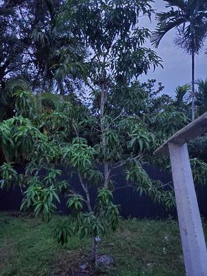 FREE AVOCADO TREE for Sale in North Miami Beach, FL