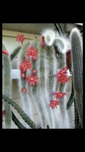 Monkeytail cactus for Sale in South Gate, CA