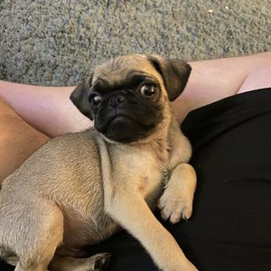 9 week pug puppy male. fawn for Sale in Los Alamitos, CA