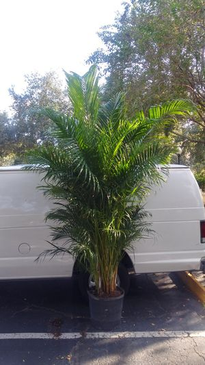 Arecca Palm Trees for Sale in Orlando, FL