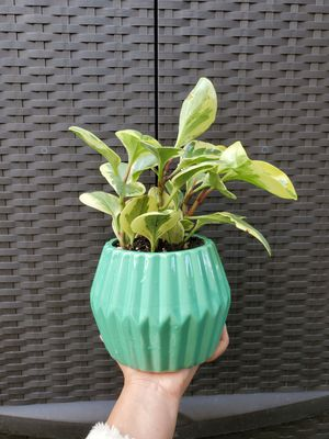 Potted Variegated Peperomia Obtusifolia Plant for Sale in Westminster, CA