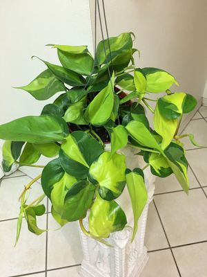 Very Beautiful and Healthy Philodendron Brazil Pothos Plants-Planter Not Included for Sale in Garden Grove, CA