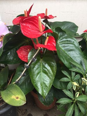 Anthurium orchids flowers classic red plants for Sale in Santa Ana, CA