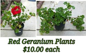 Red geranium plants for Sale in Hacienda Heights, CA