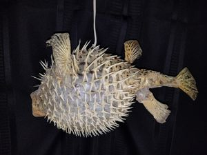 "Blow fish/puffer 16"" for Sale in Bellaire, MI"