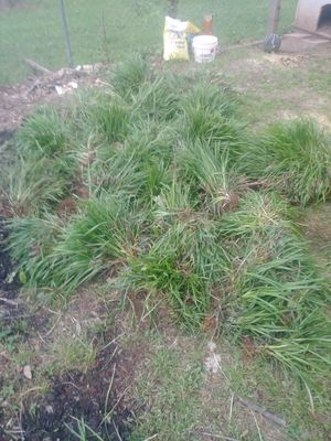 Monkey grass feer for Sale in Greer, SC