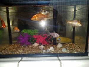 5.5 gallon aquarium with 5 big gold fish for Sale in Sacramento, CA